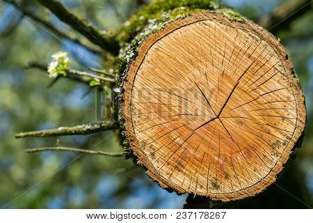 Close-up Of Tree Rings Of A Tree. Annual Rings Of An Old Tree. Growing Flowers On A Tree In Spring.