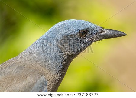 A Beautiful Head Portrait Shot Of An Uncommon Mexican Jay As It Forages In The Forests Of Southern A