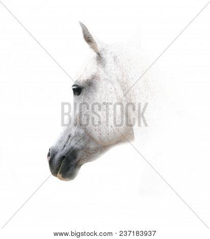 White Arabian Horse On A White Background