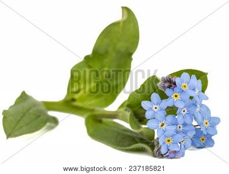 Light Blue Flowers Of Forget-me-not (myosotis Arvensis), Isolated On White Background