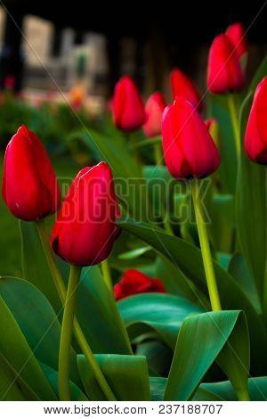 Beautiful Red Tulips Photo Take During Morning Walking