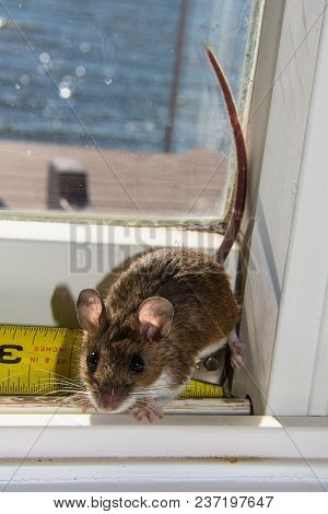 A Backlit Wild Brown House Mouse, Mus Musculus, Sitting On A Dirty White Windowsill. He Is Resting O