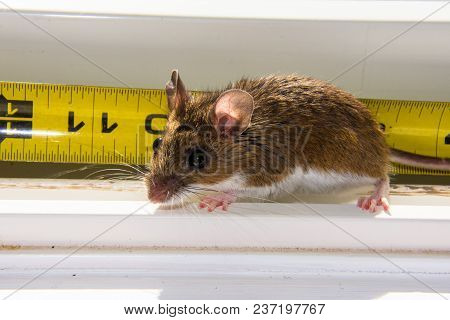 A Backlit Wild Brown House Mouse, Mus Musculus, Sitting On A Dirty White Windowsill. A Bright Yellow
