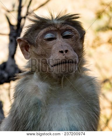 Urban Monkey Sits With Eyes Closed, Looking Serene
