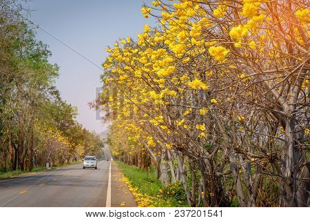 Cochlospermum Regium Trees, Yellow Flowers And The Road In Country Side Of Thailand.