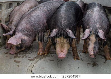 Berkshire Pig Or Kurobuta Pig -swine Farming Business Walking Around Farm In Relax Time. Pigfarmin