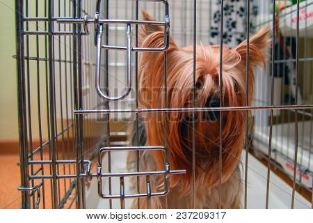 Yorkshire Terrier Shaggy Doggie In A Cage. Intelligent Pet Yorkies Dog.