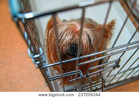 Cute Yorkshire Terrier Shaggy Doggie In A Cage. Intelligent Pet Yorkies Dog Top Close Up View.