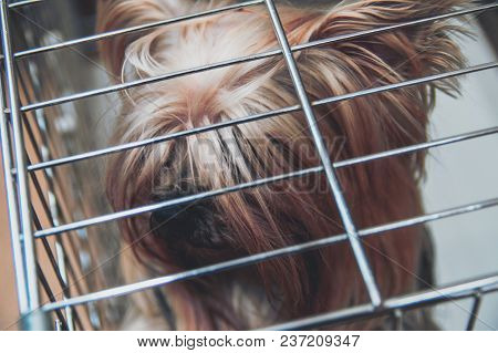 Yorkshire Terrier Shaggy Doggie In A Cage. Intelligent Pet Yorkies Dog Top Close Up View.