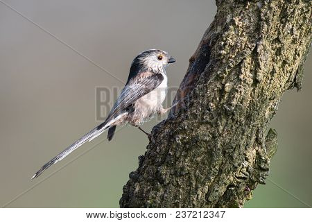 A Profile Portrait Of A Long Tailed Tit Perched On A Tree Trunk Looking Alert And Facing To The Righ