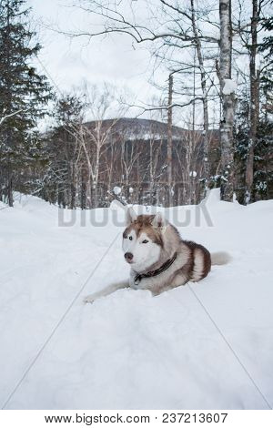 Husky Dog Liying On The Snow In Winter Forest On The Mountain Background. Portrait Of Brown And Whit