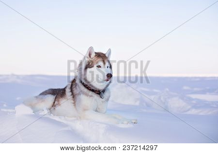 Profile Portrait Of Prideful Dog Breed Husky Is Lying On The Snow At Sunset And Looking Into The Dis