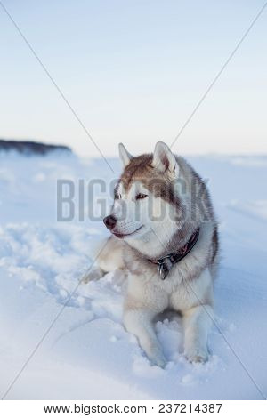Profile Portrait Of Gorgeous Dog Breed Husky Is Lying On The Snow At Sunset And Looking Into The Dis