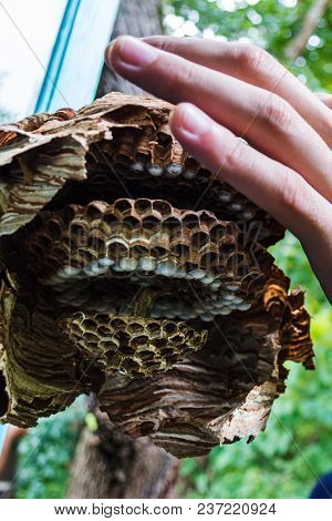 The Broken Nest Of Hornet In The Man's Hand In The Forest Next To The Country House; Разломанное гне