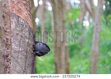 A Black Bowl Hanging On Para Rubber Tree Trunk In Rubber Plantation With Blur Green Nature Garden Ba