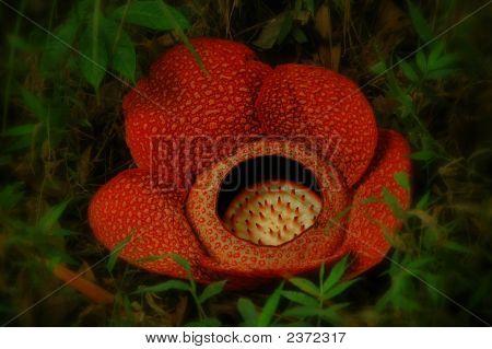 Große, wilde Rafflesia
