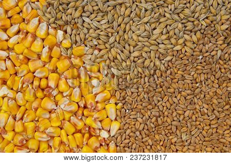 Wheat, Barley And Maize Grains As Agricultural Background.