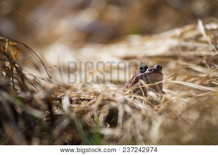 A Beautiful Brown Frog Sitting In Dried Grass In Early Spring Sunny Day. Closeup Of A Frog. Shallow