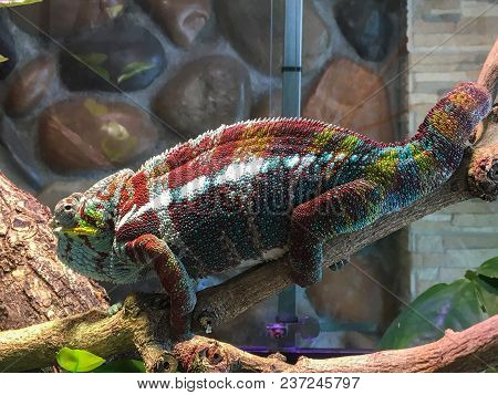The Chameleon Is Sitting On A Branch. Red Camouflage