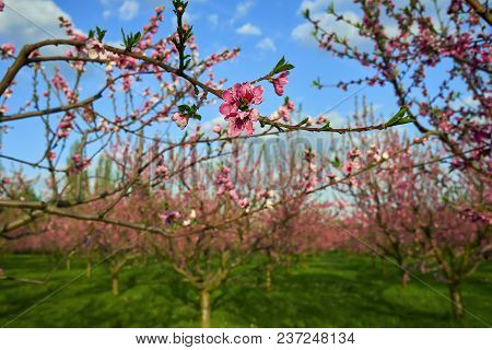 Blooming Pink Peach Blossoms On Tree Stick With Peach Trees Gardern On Background In The Begining Of