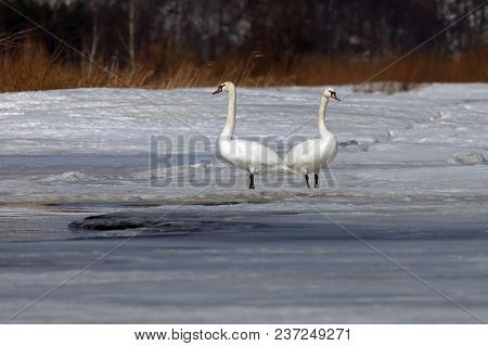 Beautiful White Swans On A Frozen Lake In Early Spring