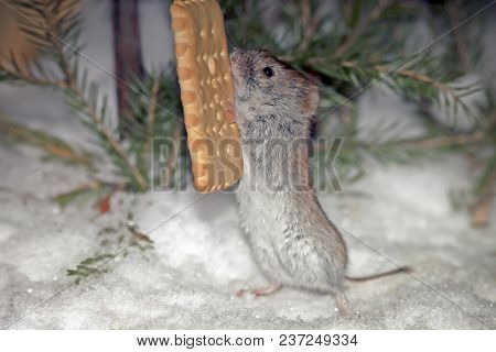Little Cute Furry Mouse Trying To Eat Tasty Cookies