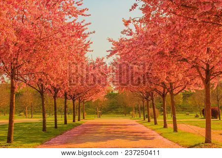 An Explosion Of Blooming Cherry Tree In A Park  /an Avenue Of Blooming Cherry Trees