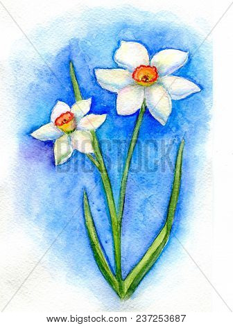Two White Daffodils On A Blue Background. Hand-painted Watercolor Illustration And Paper Texture