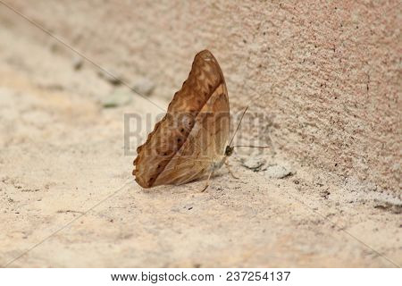 Vindula Erota Erota Butterfly General Characteristics. The Wings Of The Lateral Wing Of The Wing Sli
