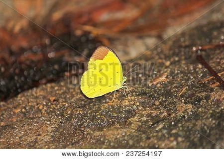 The Hill Grass Yellow  Butterfly  The Body Size Is About 40-45 Millimeters.