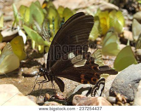 Great Helen Butterfly On The Stone Floor