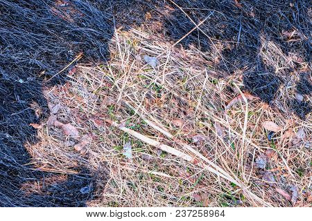 Burnt Grass. In The Center There Is The Unburned Dry Grass On The Edges Black And Burnt. Through The