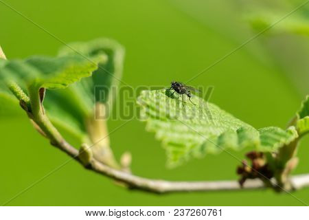 Close-up Of A Little Black Fly Who Sits On A Beautiful Green Leaf In Spring. View To A Small Fly On