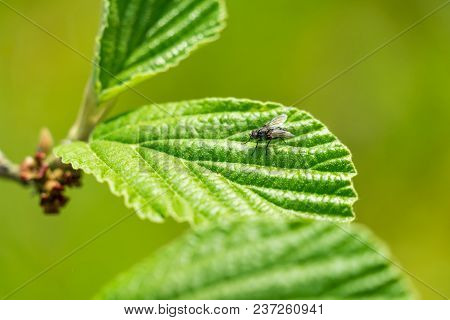Close-up Of A Little Fly Who Sits On A Green Leaf In Spring. View To A Small Fly On A Growing Leaf I