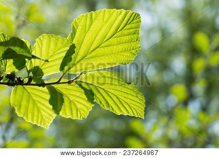 Close-up Of Beautiful Light Flooded Leaves In Spring. View To Beautiful Green Leaves On A Sunny Morn