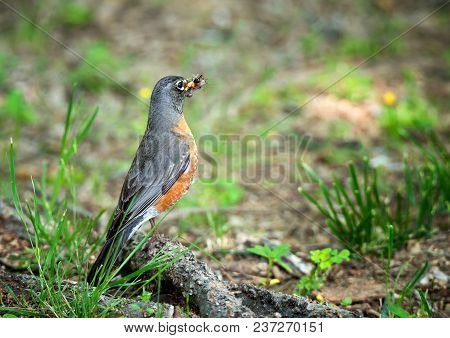 American Robin (turdus Migratorius) With A Mouthful Of Insects