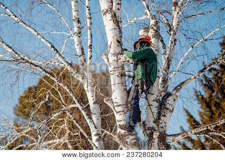 Man Saws Sawmill With Chainsaw At Height Insurance. Concept Of Cutting Down Trees With Help Of Lines