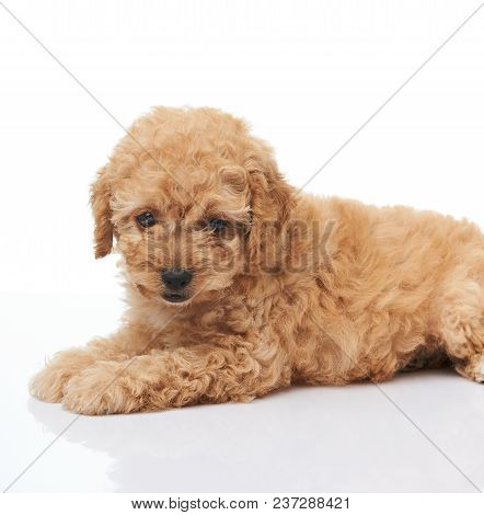 Sweet Small Poodle Puppy Laying Isolated On White Background