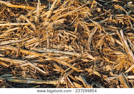 Dried Dry Corn Stalks Lie On The Floor. Food For Rabbits, Background For Design