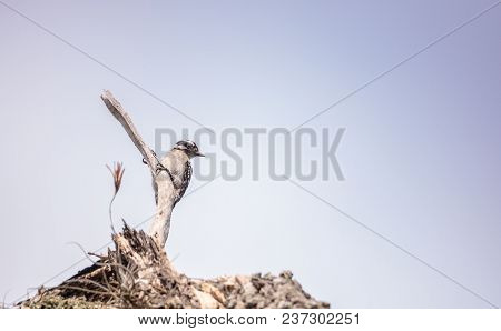 Downy Woodpecker Picoides Pubescens Perches On A Dead Tree
