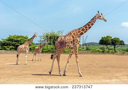 Giraffes at Busuanga island, Palawan, Philippines