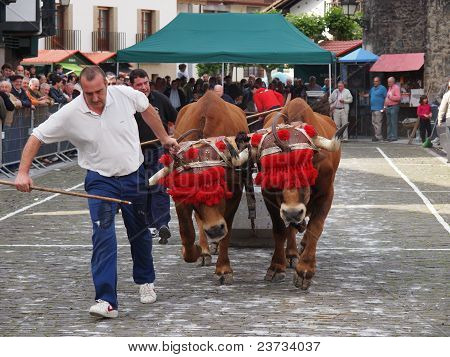 Basque Rural Sports - Idi Probak (oxen Tests)