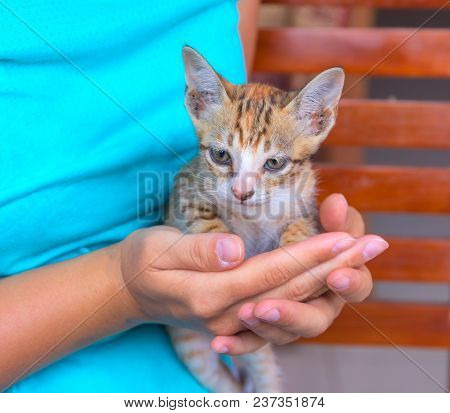 Little Cat In Woman's Hands. Young Kitty With Red Fur And Blue Eyes. Caring Hands Holding Cute Kitte