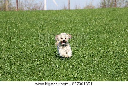 Small Havanese Dog Is Running In The Garden