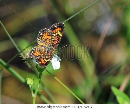Phaon Cresent butterfly
