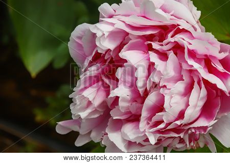 Blooming Head Of A White Pink Peony Close-up. Bloom And Blossom