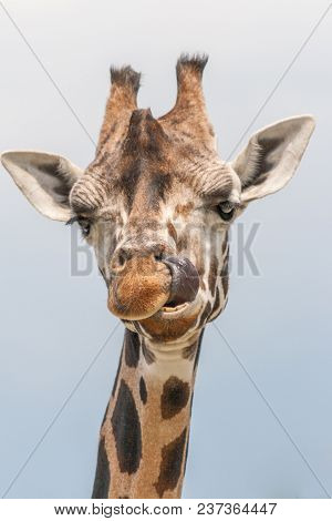 The Giraffe (giraffa) With A Tongue Out, Genus Of African Even-toed Ungulate Mammals. Latin Name Cam