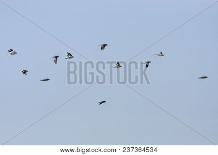 A Flock Of Snow Bunting In Migration. Sunny Morning In April.