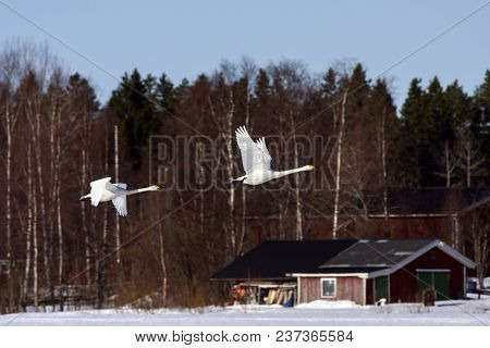 A Couple Of Whooper Swan In Migration. Leaving A Rest Place. Heading North. Buildings In The Backgro