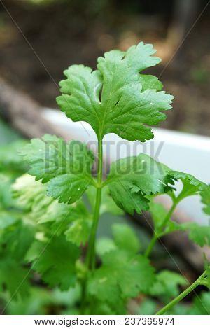 Close Up Fresh Green Coriandrum Sativum Leaf In Nature Garden